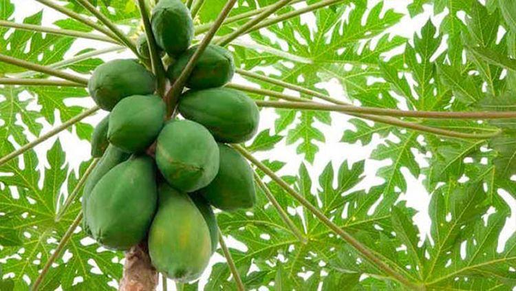 beneficios-hojas-de-papaya