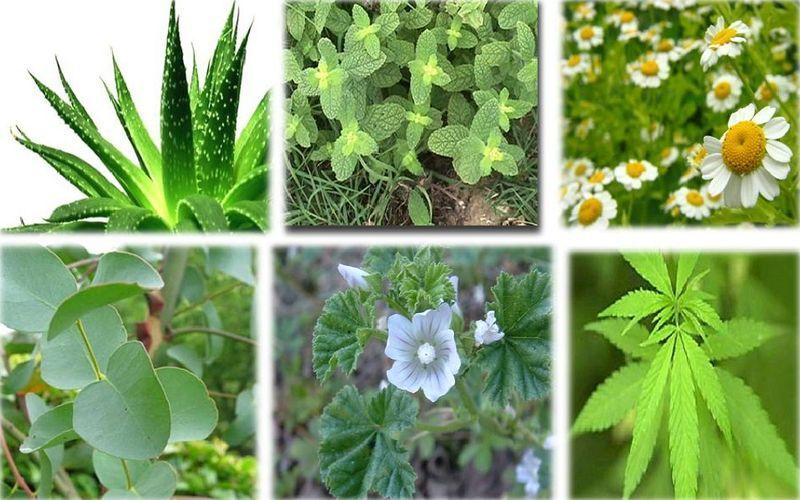 plantas-medicinales-para-adelgazar